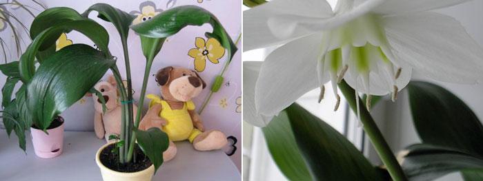 Цветок, исполненный прелести, грациозный и приятный Эухарис