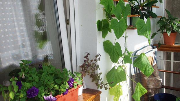 Огурцы на балконе: секреты выращивания