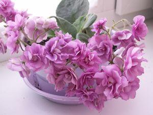 Как и все комнатные растения, фиалки улучшают...