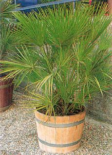 Фото комнатных растений фиттония