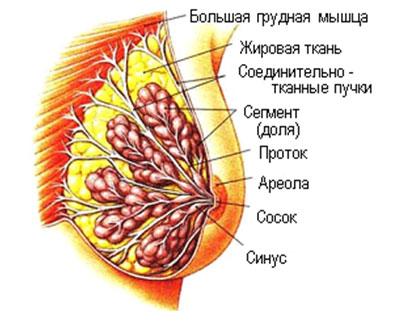 Упражнения для увеличения бюста и ягодиц