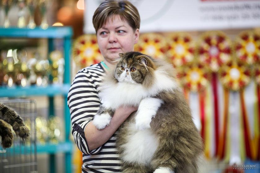 """Выставка кошек """"""""Золотая кошка Евразии"""""""" - Москва - 4-5 ноября 2016. TopCat"""
