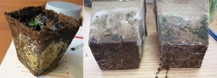 Как бороться: - Удалить плесень вместе с частью почвогрунта; - Опрыскать почву раствором перекиси водорода (2-3 ст.ложки аптечной перекиси на 0,5 л кипяченой воды); - Присыпать почву вермикулитом мелкой фракции, или растолченным активированным углем. Они, как сорбенты, впитывают в себя излишки влаги; - Проветривать каждый день; - Если речь идет о плесени на торфотаблетках или торфяных горшках, то еще нужно переставить их в другую сухую емкость, и принять меры для подсушивания.
