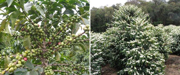 Привычные нам кофейные зерна- плоды дерева семейства мареновых.