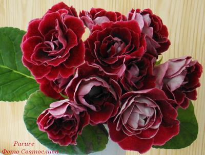 Глоксиния - это цветок моего детства, он приносит в дом любовь и тепло.  Глоксинии всегда росли в доме моей мамы.